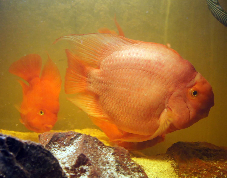 Pets and aquarium fish for Blood parrot fish